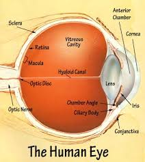What Structure Of The Eye Focuses Light On The Retina Eyelabeled Jpg