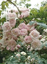 ethel 11 95 trevor white old fashioned roses