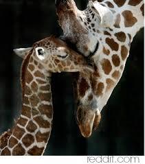 Giraffe Tattoos Meaning Giraffe Symbolism Giraffe Spirit Meaning
