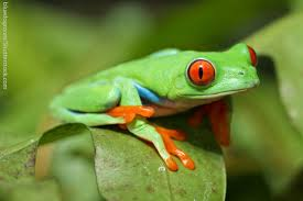 eyed tree frog facts for information pics