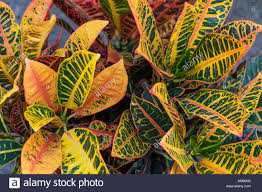 Croton Tropical Plant Beautiful Croton Plants Stock Photos U0026 Beautiful Croton Plants