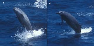 true u0027s beaked whale wikipedia