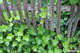 ivy plant hedera helix how to care and grow indoors plantopedia