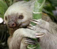 4 toed sloth treknature two toed sloth photo