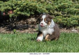 australian shepherd dog puppies black tricolor australian shepherd aussie stock photos u0026 black
