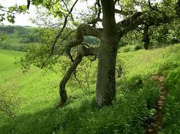 file oak tree ham hill country park geograph org uk 414178 jpg