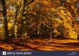 beech trees in autumn by virginia water great park stock