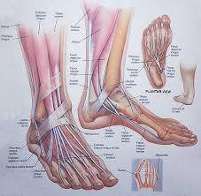 The Human Anatomy Muscles Muscle Anatomy Foot Anatomy 300x294 Tomatillo Gazpacho Recipe