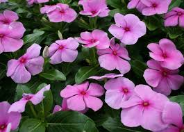 vinca flower 63 best vinca flowers images on flower gardening