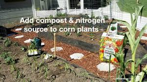 Backyard Soil Yes You Can Grow Corn In A Small Garden The Foodie Gardener