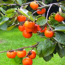 Online Fruit Trees For Sale - online get cheap sale fruit trees aliexpress com alibaba group