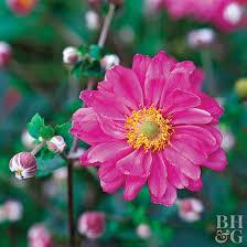 anemone plant ctg507210 jpg rendition largest jpg