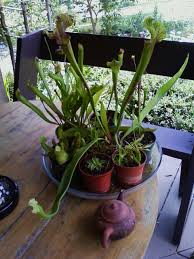 native pot plants pitcher plant care u2013 when do i repot a pitcher plant
