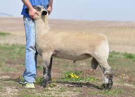 for sale nathan club lambs