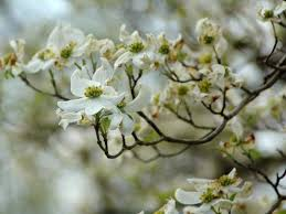 cherry blossom tree facts dogwood tree facts hgtv