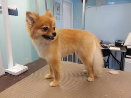 category pomeranian kelowna dog grooming services ace of