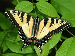 appalachian tiger swallowtail butterfly a hybrid species of two