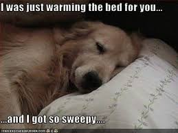 Golden Retriever Meme - 12 best golden retriever memes