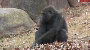 Ape Meme - ten best monkey ape gifs firstandmonday