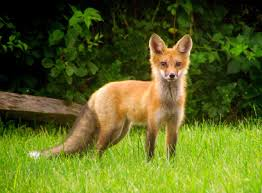 Fox or coyote how to tell them apart your great outdoors