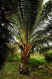the palm tree sustainable malaysian palm