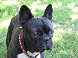 bulldog y boxer file buldog francuski 01 jpg wikimedia commons