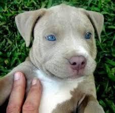 american pitbull terrier 4 weeks dog of the week american pit bull terrier all about dogs