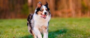 running with australian shepherd puppy 55 adorable australian shepherd dog images and pictures