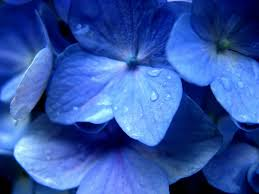 hydrangea wallpaper 25702 1024x768 px hdwallsource com