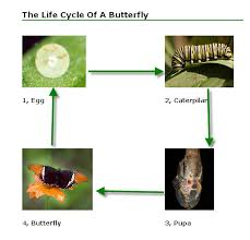 butterfly life cycle butterfly life span for kids butterfly life