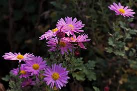 michaelmas daisy pictures and info flowerpictures us