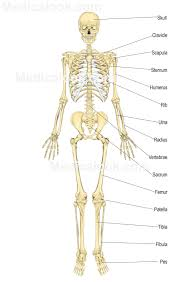 Photos Of Human Anatomy Skeletal System Human Anatomy