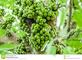 cluster fig on tree ficus racemosa stock photo image of