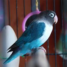 uccelli in gabbia l uccello in gabbia canta per invidia o per rabbia proverbio