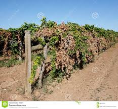 a trellis dried row of vines royalty free stock photo image