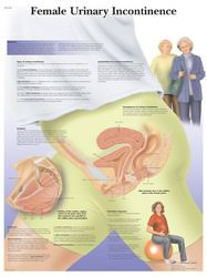 Female Urinary System Anatomy Lymphatic And Urinary System Posters Clinicalcharts Com