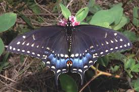 list of butterflies of oklahoma wikipedia