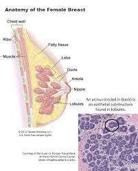 Female Breast Anatomy And Physiology Terminal Duct Lobular Unit Involution Of The Normal Breast Study