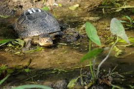 helping endangered blanding u0027s turtles survive at brookfield zoo
