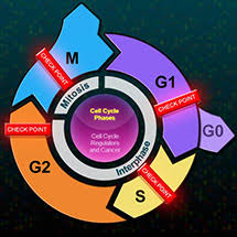 the eukaryotic cell cycle and cancer hhmi biointeractive
