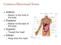 Directional Terms Human Anatomy Biol 2430 Anatomy And Physiology Lab Ppt Video Online Download