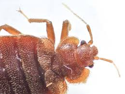 Make The Bed In Spanish Where Do Bed Bugs Come From Identify Bed Bugs Info