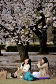gorgeous photos show off the beauty of japan u0027s cherry blossom