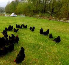 how to feed your chickens without grain 20 ways to cut your