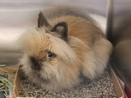pics of lionhead bunnies best lion 2017