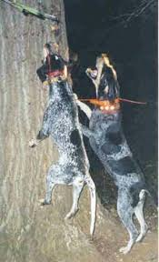 bluetick coonhound genetics gsp sisters hanging on the farm hunting dogs pinterest on