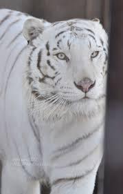 2017 3 10 宇都宮動物園 ホワイトタイガーのアース王子 white tiger