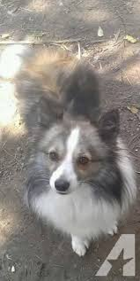 australian shepherd indiana australian shepherd u0026 american eskimo mix female for sale in