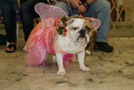 dogs in costume help raise money for bulldog rescue twin cities