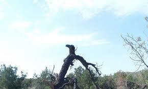 takes a microclimate to raise a pinyon tree